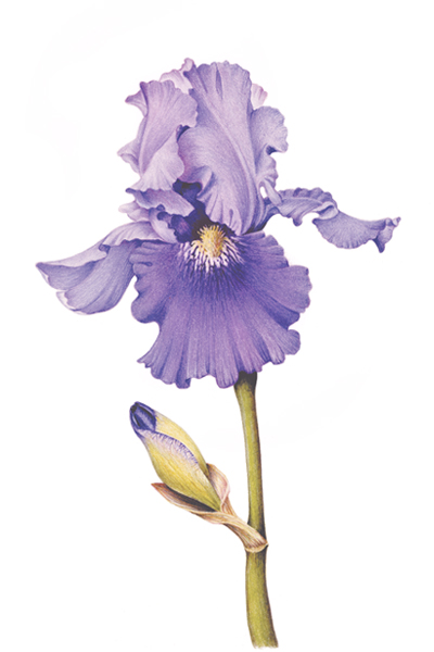 Line Drawing Of Iris Flower : Bearded iris drawings